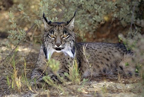 lynx iberian wild spain endangered national park heritage found into cat donana places including help face development risk pardinus animal