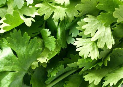 cuisine andre coriandre planter cultiver récolter pratique fr
