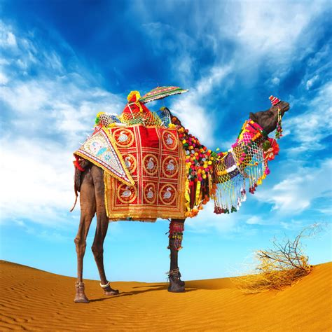 Pushkar Camel Festival Background by Camel In Desert Stock Photo Image Of India Attraction