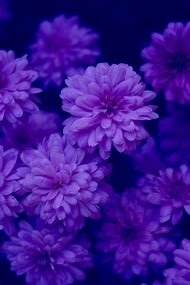 Color Purple Lavender Flowers