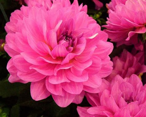 Dahlia Bright Pink Flowers Hd Wallpaper Download For