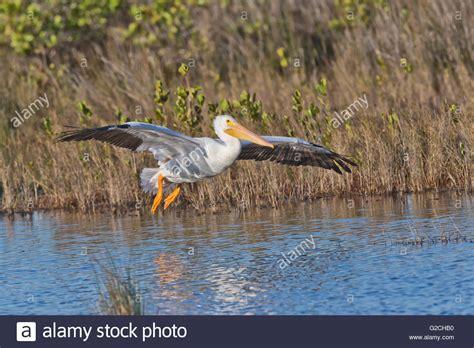 American White Pelican (pelecanus Erythrorhynchos Stock
