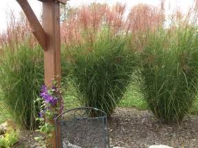 planting and dividing ornamental grasses on the cheap world garden farms