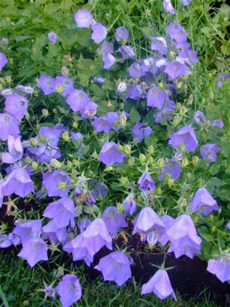 bellflower plant canula carpatica carpathian bellflower tussock bellflower plant page