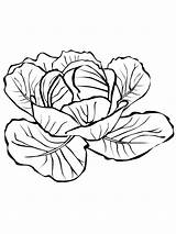 Cabbage Coloring Pages Printable Colouring Drawing Vegetables Broccoli Sketch Getdrawings Template Colors Recommended sketch template