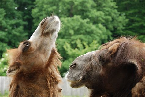 Camel Rides Offered At Point Defiance Zoo In