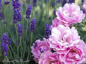 Rosen Und Lavendel : lavendel duftende bl tenwogen f r den garten ~ Yasmunasinghe.com Haus und Dekorationen