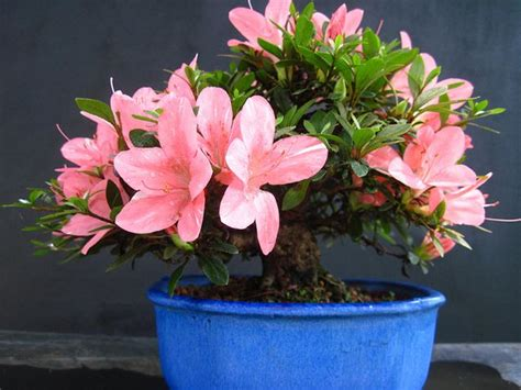 azalea rhododendron simsii 15 houseplants for improving indoor air quality mnn