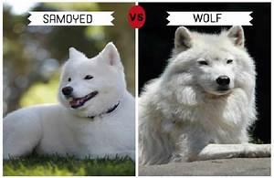 List of Wolf-Like Dog Breeds - Trackimo