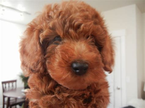 small dogs that don t shed for sale hd small breed dogs pics