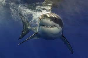 monster great white  friends spotted  carolina coast