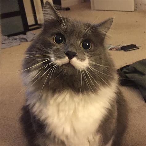 Hamilton the Hipster Cat as a Kitten