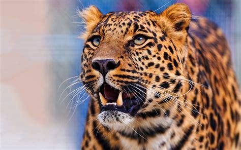 leopard pics - HD Desktop Wallpapers | 4k HD