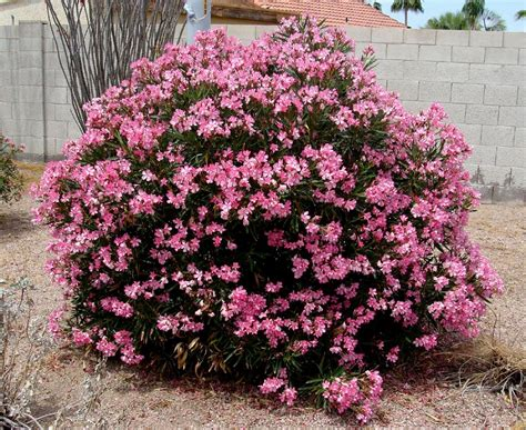colored baby cribs there are so many oleander cultivars here 39 s just a