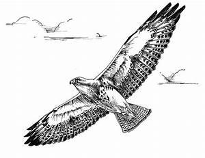 Fileblack And White Line Art Drawing Of Swainson Hawk