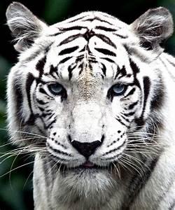 Pin White Tiger Eyes on Pinterest