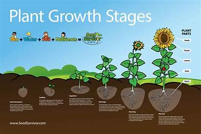 Growth Plant Stages Seeds Plants Planting Seed