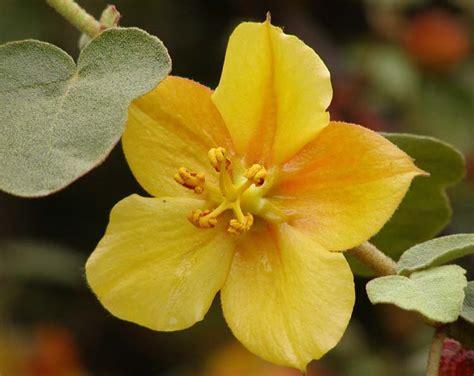 fremontodendron wikipedia
