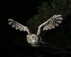 Western Screech Owl Facts, Habitat, Diet, Life Cycle, Baby ...
