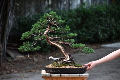 Bonsai ID 459 : บอนไซ Itoigawa Shimpaku - บอนไซ บอนไซญี่ปุ่น