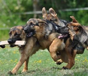 Keep In Touch Deutsch : german shepherd keep running that way and you 39 ll make a touch down for our team geman ~ Buech-reservation.com Haus und Dekorationen