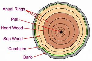 Just Exactly What Color Is The Cambium Anyway