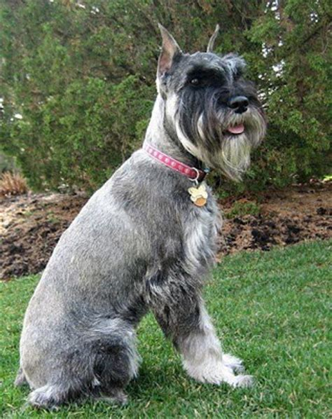 do schnauzers shed how much does your std schnauzer shed page 2