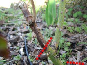 Comment Tailler Les Rosiers : entretien des rosiers ~ Nature-et-papiers.com Idées de Décoration