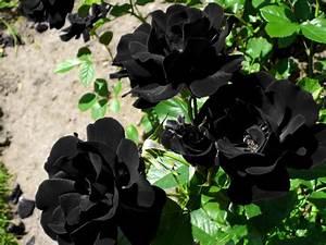 The black rose of Halfeti - Daily Sabah