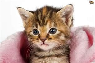 feline influenza all about cat flu pets4homes