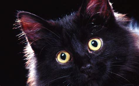 black cats cats images beautiful black cat