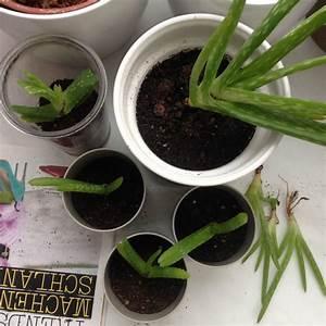 Aloe Vera Umtopfen : pflanzenliebe aloe vera umtopfen ~ Eleganceandgraceweddings.com Haus und Dekorationen