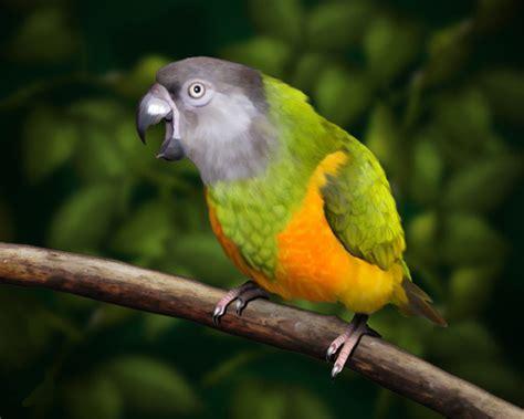 senegal parrot senegal parrot informations pictures