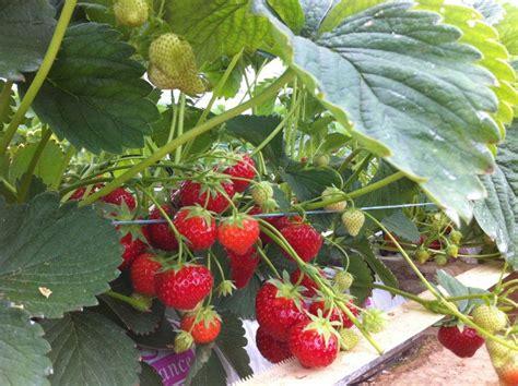chambre agriculture oise les fraises de cuvilly visite et produits à la ferme
