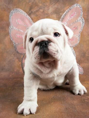 bulldog puppy wearing angel wings photographic print