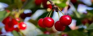 Tart Cherries And Sweet Cherries