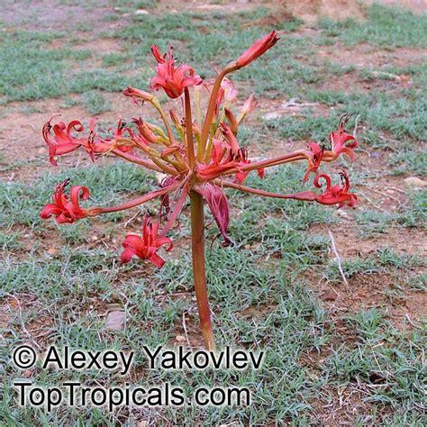 brunsvigia orientalis candelabra flower king candelabra
