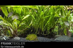 Welchen Dünger Für Aquarienpflanzen : aquarienpflanzen sortiment f r gro e aquarien ab 150 cm ~ Michelbontemps.com Haus und Dekorationen