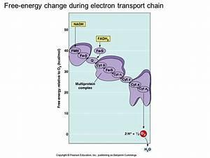 Diagram And Explain Electron Transport Quizlet