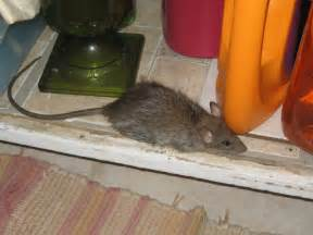 will keeping lights on keep mice away 8 tips to keep rats away from your house these will