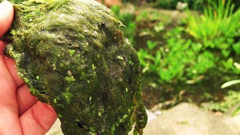 algen im teich hausmittel was hilft gegen algen im gartenteich ndr de ratgeber garten