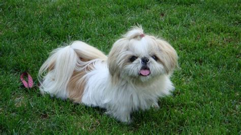 11 Things That You Have To Endure Of Your Shih Tzu For
