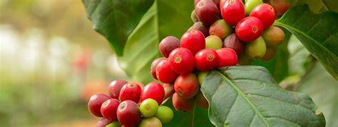 bohnen selbst anbauen kaffeepflanzen selbst anbauen coffee