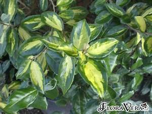 Elaeagnus X Ebbingei Floravera
