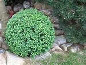Buchsbaum Kugel Schneiden : figuren buchsbaum schneiden buchs formschnitt buchsbaum ~ Lizthompson.info Haus und Dekorationen