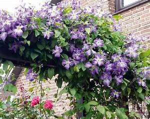 Clematis Viticella Sorten : bild clematis viticella 39 jenny 39 eine gesunde sorte bis ~ Lizthompson.info Haus und Dekorationen