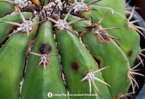 4 โรคร้ายแคคตัส ที่ชาวไม้หนามควรรู้จักไว้!! — LivingPop