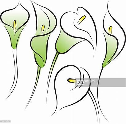 Calla Lilies Vector Lily Clip Illustrations Drawing