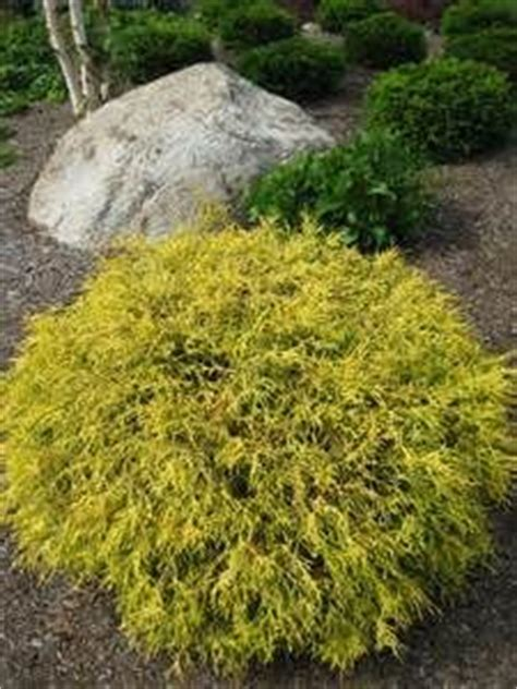 golden mop threadleaf false cypress bing images shrubs