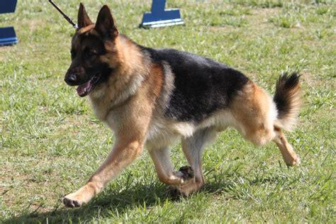 german shepherd dog breed information german shepherd dog